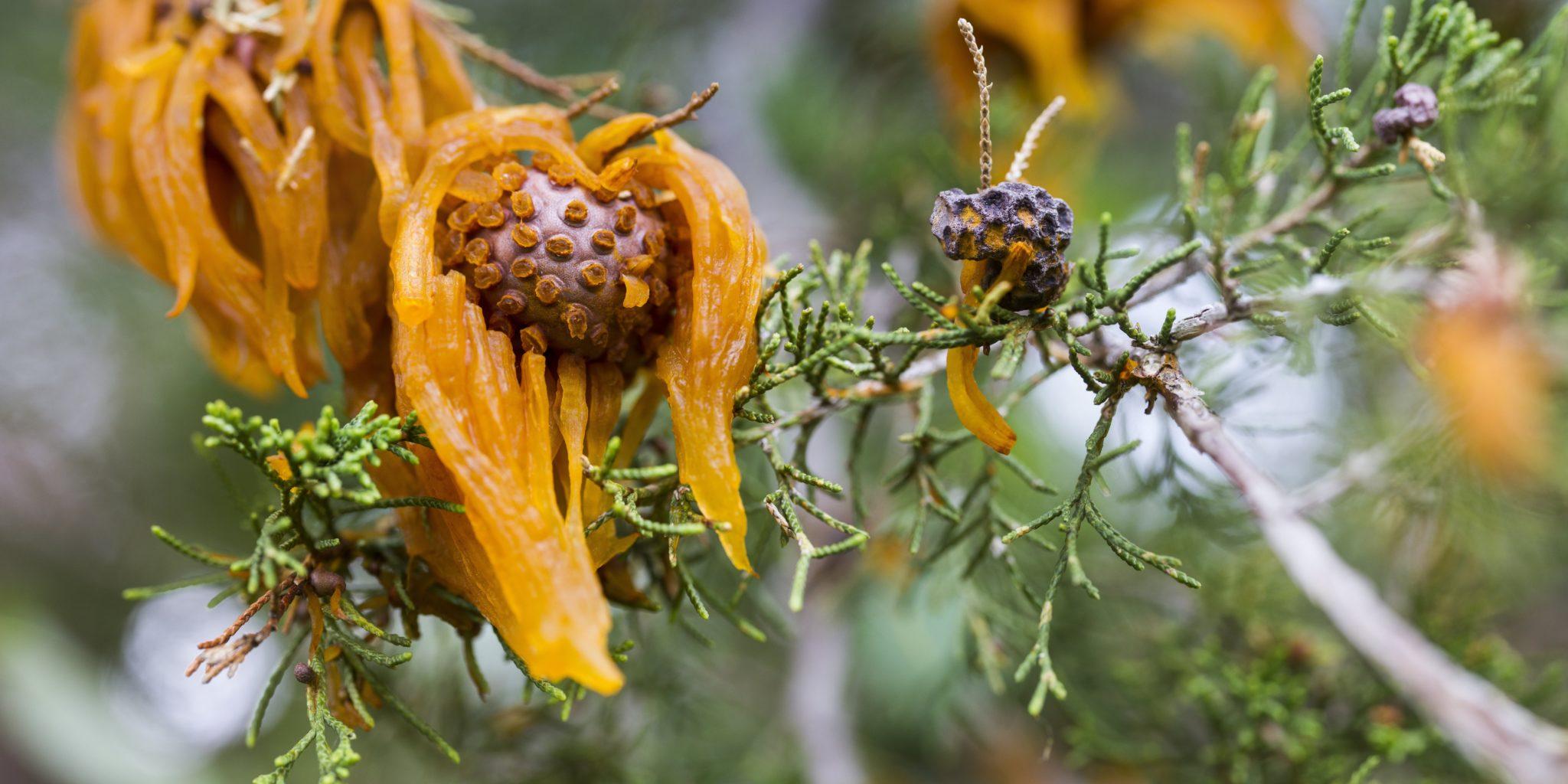 Apple Cedar Fungus